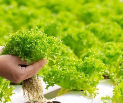 Holding Lettuce